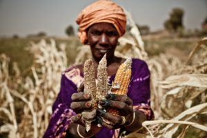 climate change effect on maize ears crop