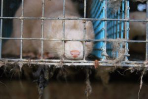 Up to 17 million mink are to be culled in Denmark following the discovery of a COVID-19 mutation